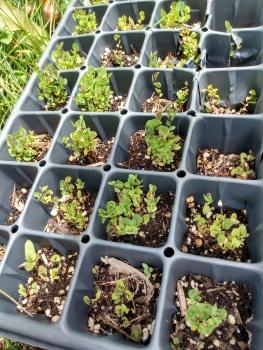 leadplant